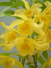デンドロビューム原種の苗friedericksianumフレデリックシアナム