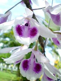 デンドロビューム原種の苗Dendrobium anosmumデンドロビューム アノスマム