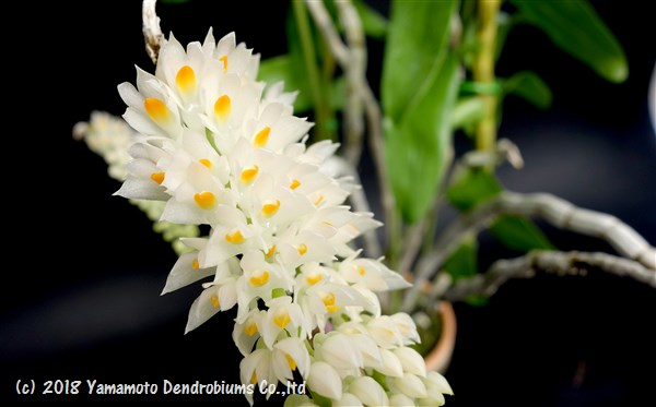デンドロビューム原種の苗Den.secundum albaセクンダム アルバ