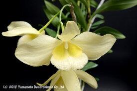 デンドロビューム原種の苗Den.pulchellum albaプルケラム アルバ