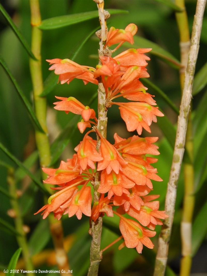 デンドロビューム原種の苗Den.faciferumファシフェラム
