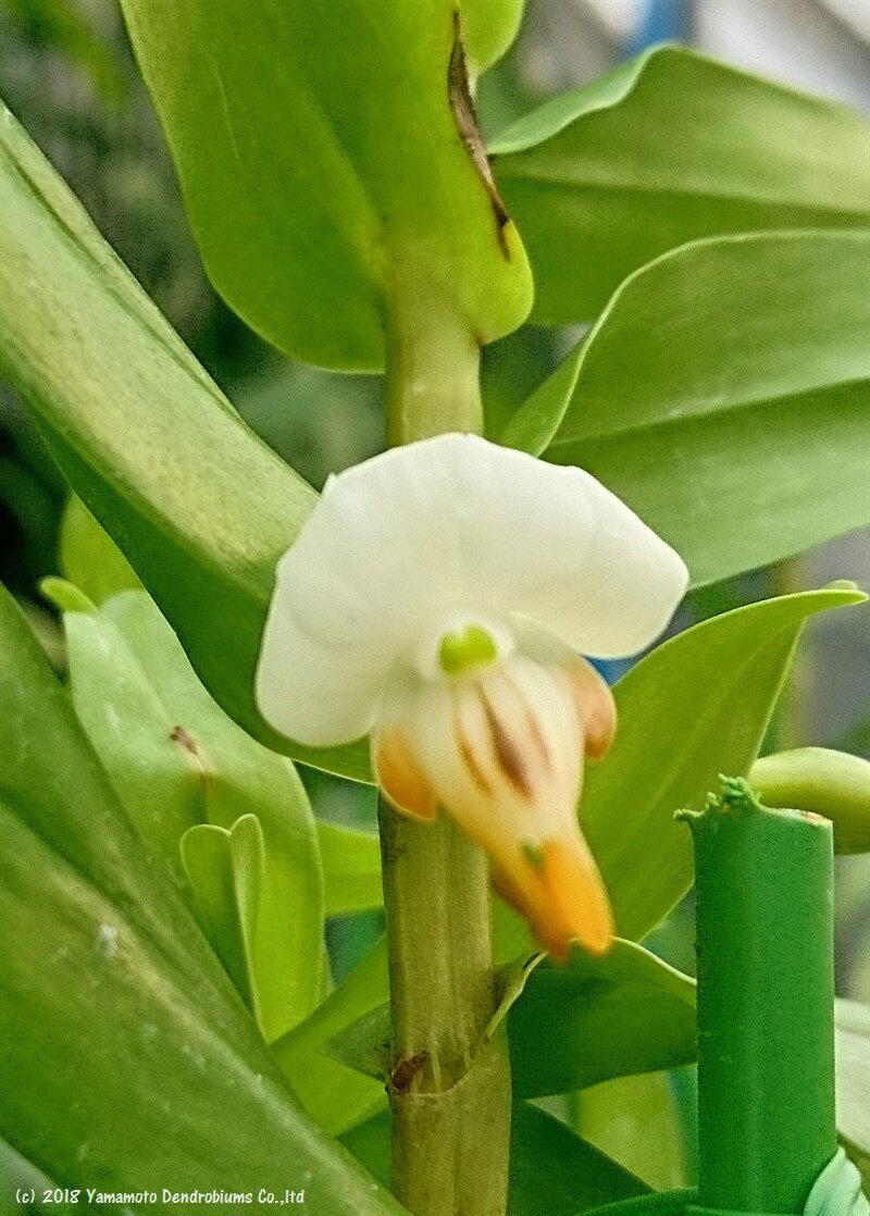 デンドロビューム原種の苗Den.ellipsophyllumエリプソフィラム