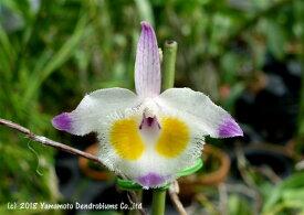 デンドロビューム原種の苗Den.devonianumデボニアナム
