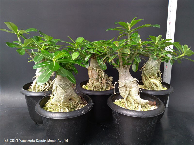アデニウム オベスム(砂漠のバラ)の実生苗5株セット