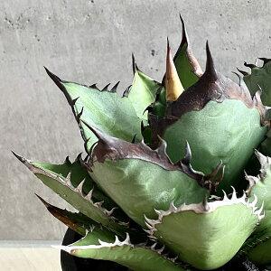 agave titanota black fire/アガベ チタノタ ブラックファイヤー 【観葉植物】【多肉植物】【インテリア】【美株】【鉢込み発送】【発根済】