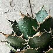 agavetitanotaoteroi/アガベチタノタオテロイ【観葉植物】【多肉植物】【インテリア】【鉢込み発送】【発根済】【美株】