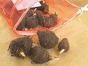 ズイキ種芋1kg