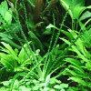 水生植物兰 Aquatica 窄礁