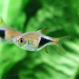 熱帯魚 観賞魚 トリゴノスティグマ ヘテロモルファ 5匹セット 【北海道・九州・沖縄・離島は発送不可】