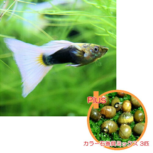 【お買い得セット】 国産グッピー ドイツイエロータキシード 1Pr + カラー石巻貝ミックス 3匹のセット
