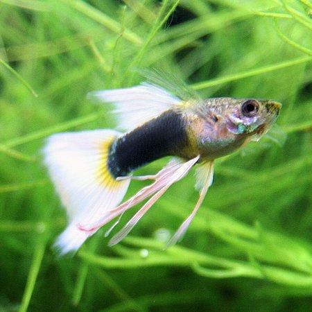 熱帯魚 観賞魚 国産グッピー ドイツイエロータキシード リボン 1トリオ