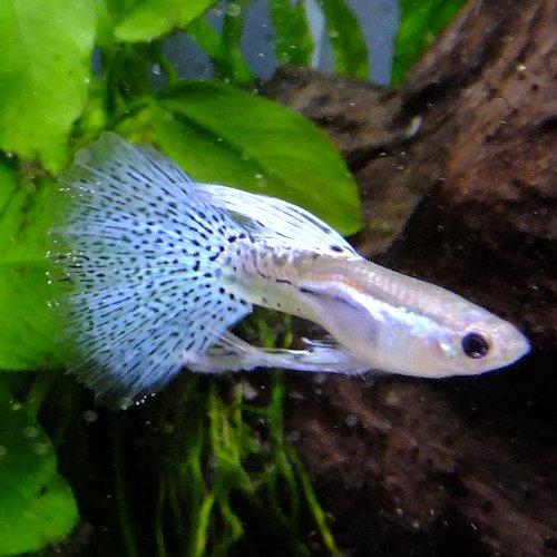 熱帯魚 観賞魚 国産グッピー ブルーグラス リボン グッピー 1トリオ【国産・グッピー】
