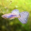 熱帯魚 観賞魚 国産グッピー ブルーグラス グッピー 3Prセット【国産・グッピー】
