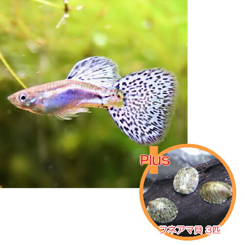 【お買い得セット】 国産グッピー ブルーグラス グッピー 1Pr + フネアマ貝 3匹のセット【国産・グッピー】