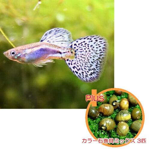 【お買い得セット】 国産グッピー ブルーグラス グッピー 1Pr + カラー石巻貝ミックス 3匹のセット