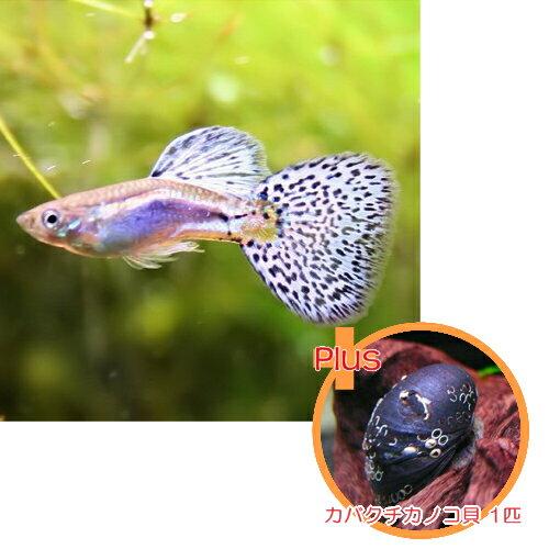 【お買い得セット】 国産グッピー ブルーグラス 1Pr + カバクチカノコ貝 1匹のセット