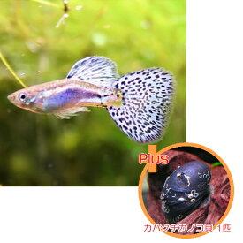 【お買い得セット】 国産グッピー ブルーグラス 1Pr + カバクチカノコ貝 1匹のセット 【北海道・九州・沖縄・離島は発送不可】