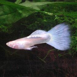 熱帯魚/国産グッピーRREAジャパンブルーネオンタキシード