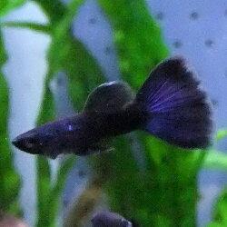 熱帯魚観賞魚国産グッピーフルブラック1Pr