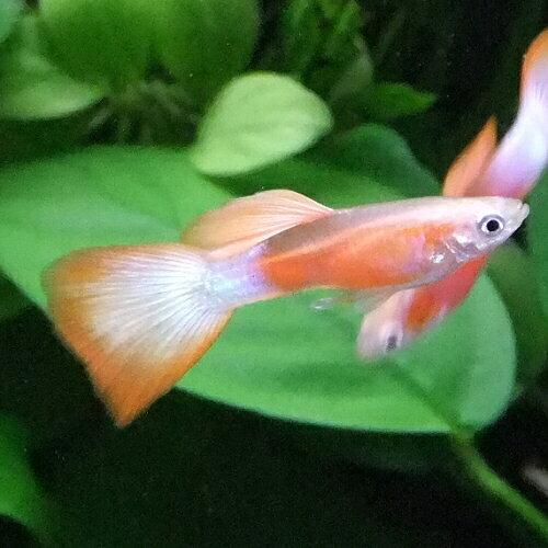 熱帯魚 観賞魚 国産グッピー ゴールデン紅白 1Pr【国産・グッピー】