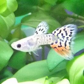 熱帯魚 観賞魚 国産グッピー ギャラクシーグラスグッピー 1Pr