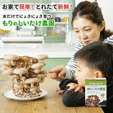 椎茸栽培キットの栽培画像