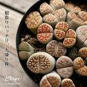 大盛り。リトープスの宝箱(今月の植物)