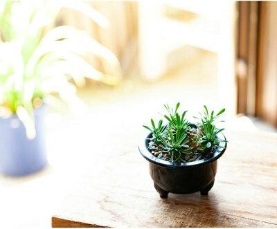 ユーフォルビア・ガビザン(峨眉山)(今月の植物)