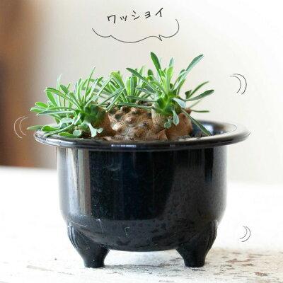 ちょっぴり珍しい多肉植物。ユーフォルビア・ガビザンこんなに、モカモコっとボリュームがある仕立てはめずらしいですよ!【我眉山ユーホルビア】