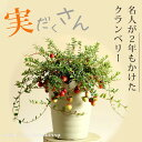 【予約品:お届けは9/15〜】実がた〜くさん付いた、名人のクランベリー(今月の植物)