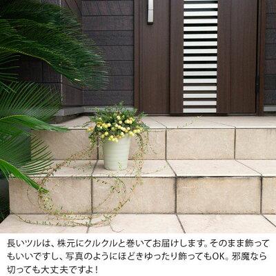 【予約品9/3〜のお届け】実がた〜くさん付いた、名人のクランベリー(植物は同梱不可)