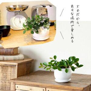 【送料無料】育てやすくて可愛い観葉植物ペペロミア・フォレット室内にオススメ!