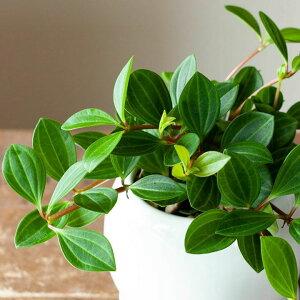 【送料無料】※お届けは3/8〜ペペロミア・フォレット育てやすくて可愛い観葉植物です。