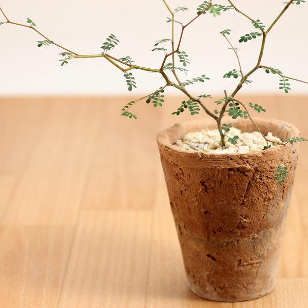 観葉植物ソフォラ リトルベイビーinモスポット