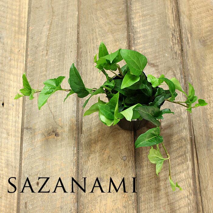 寄せ植えにもお勧めの新しい品種ヘデラ・へリックス サザナミ9cmポット苗【アイビー 観葉植物 さざなみ】
