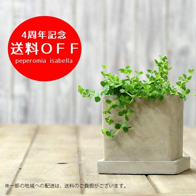 【送料無料 観葉植物】今ならピック付き!ペペロミア・イザベル。育てやすく、インテリア観葉植物としてもお勧めです。