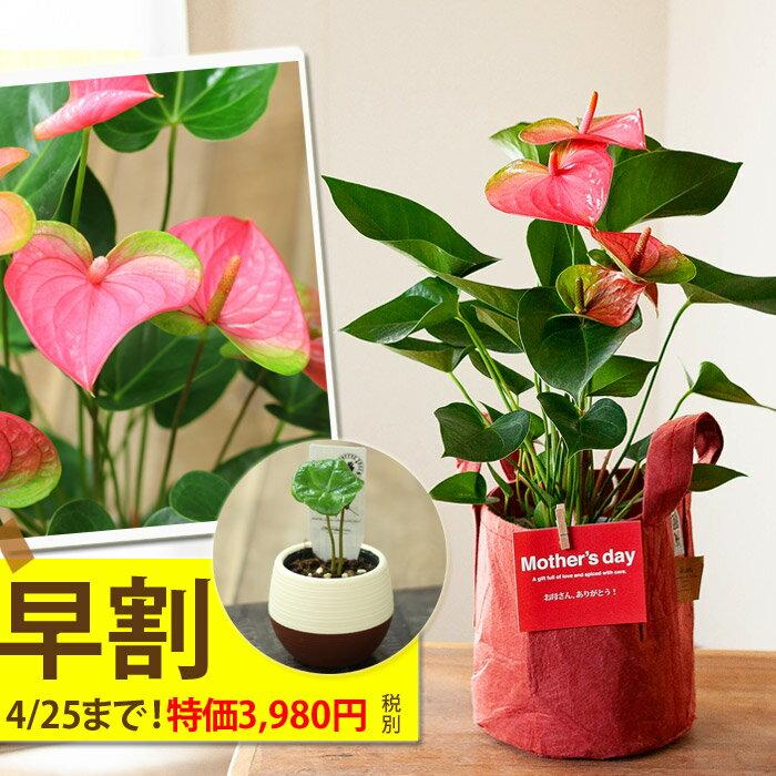 「G.Wキャンペーン(コーヒーの木の景品)」は4/20(土)の注文まで!名人・小松さんのアンスリュームを、RootPouch社の布鉢で、より可愛く。【送料無料 母の日ギフト】