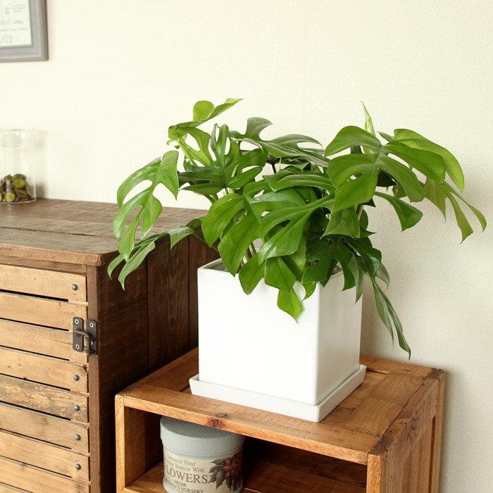【送料無料】 姫モンステラinホワイトスクエア陶器鉢【観葉植物】