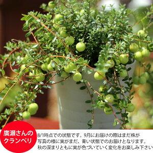 【特選】実がた〜くさん付いたクランベリー(ツルコケモモ)5号鉢サイズ