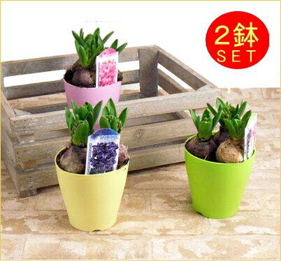 ●お届けは1/25〜お部屋に香りの宅急便♪ヒアシンス2鉢セット※ヒヤシンスの花色と、鉢の色はお任せとなります。