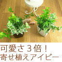 観葉植物・アイビー3種の寄せ植え