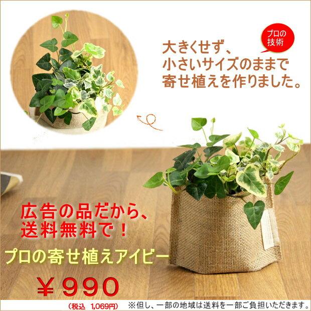 【広告の品につき、送料無料】(10/12〜のお届け)観葉植物 アイビーの寄せ植えを風合い良い、麻袋に入れて※葉色はお任せ【ミニ観葉植物 ヘデラへリックス】