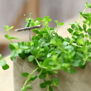 【送料無料観葉植物】今ならピック付き!ペペロミア・イザベル。育てやすく、インテリアGREENとしてもお勧めです。