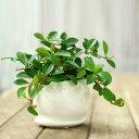【送料無料】おしゃれミニ観葉植物ペペロミア・フォレットin陶器鉢
