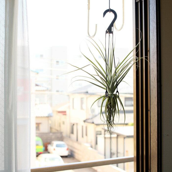 【送料無料】イキイキ感が違う!希少種ストラミネアを、日本で葉を更新しなおしお届けします。お部屋に存在感。大型エアープランツ・ストラミネア