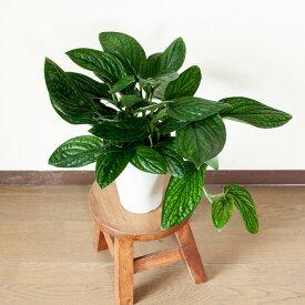 完売御礼!お届けは4/2〜めずらしいモンステラ・ジェイドシャトルコック観葉植物 インテリア(今月の植物)