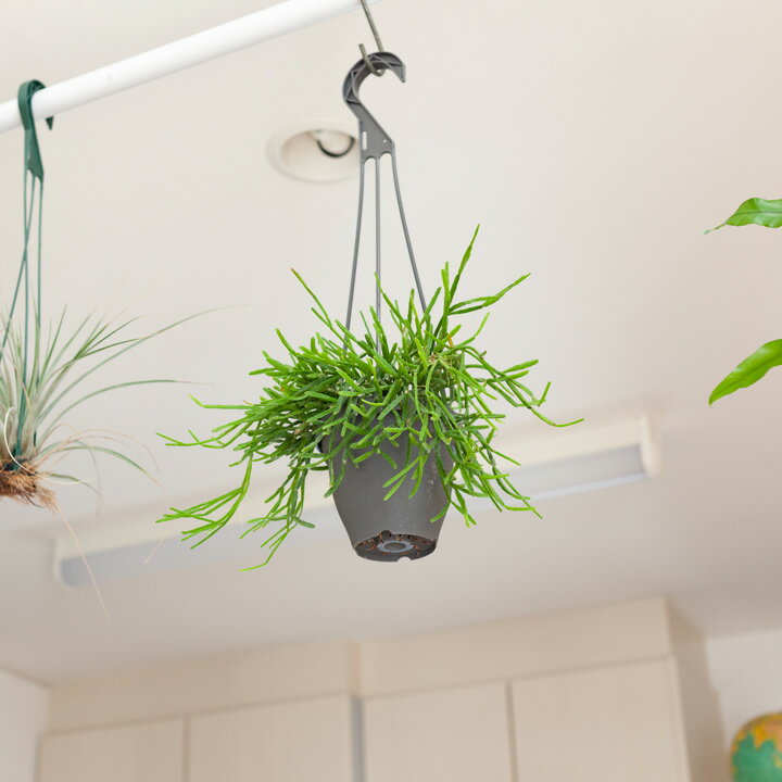 丈夫で長く付き合える多肉植物、リプサリス