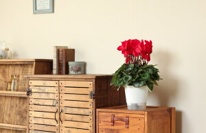 【送料無料】石村さんの長持ちシクラメン5号鉢×2鉢セット(花の色は「お任せ」となります)ご希望の方は、ラッピング無料!お歳暮などにも、大変人気です!!