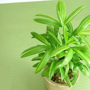 ゴテリア/観葉植物