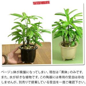 【観葉植物】観音竹・綾錦(カンノンチク・アヤニシキ)[インテリア観葉植物]